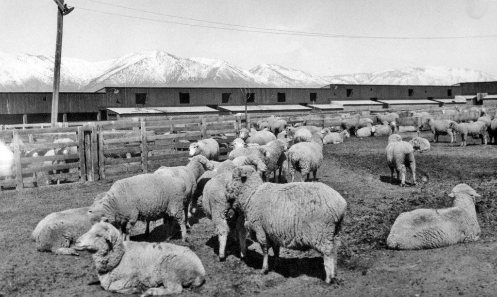 Sheep-on-Buckeye-Ranch